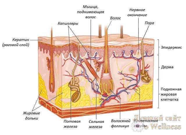 Из чего состоит кожа строение кожи